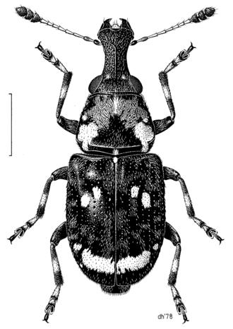 Anthribidae - Sharpius venustus
