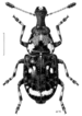 Fungus Weevils - Photo (c) Desmond W. Helmore , some rights reserved (CC BY)
