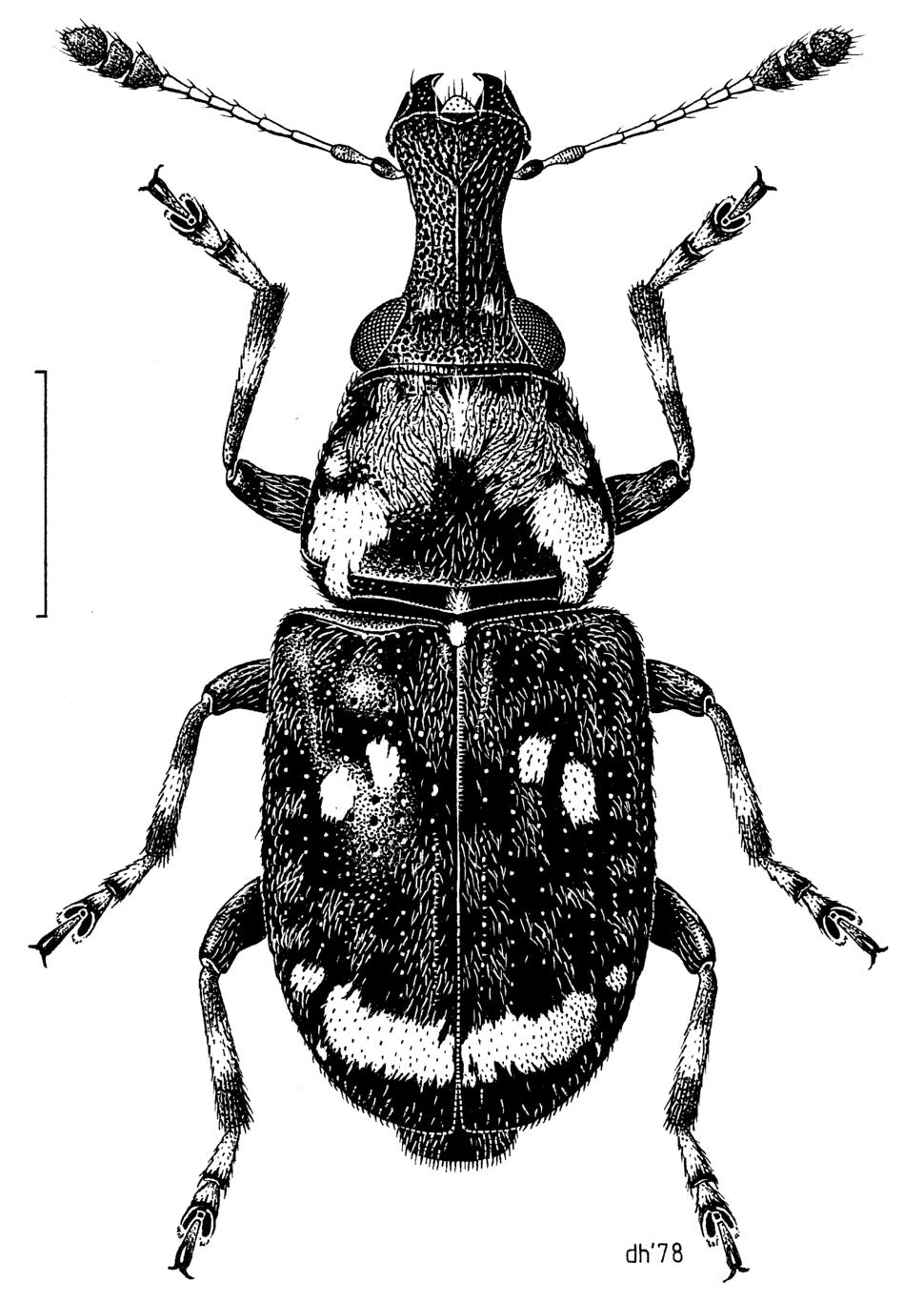 COLE Anthribidae Sharpius venustus f