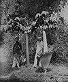 COLLECTIE TROPENMUSEUM Indonesische mannen poseren bij twee verschillende soorten Amorphophallus planten waaronder een in bloei staande Amorphophallus Titanum TMnr 60042790.jpg