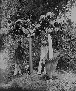 Amorphophallus titanum - Two titan arum in Sumatra, Indonesia (ca. 1900-40); one in leaf, which can reach up to 6 metres (20 ft) tall, and one in bloom.