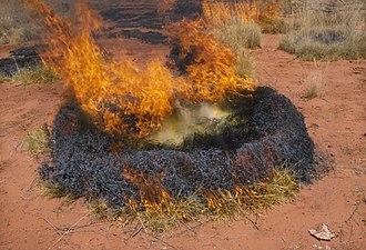 Triodia (plant) - A controlled burn of Triodia (1989), CSIRO