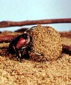 CSIRO ScienceImage 142 A Dung beetle.jpg