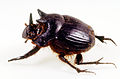 CSIRO ScienceImage 45 Side View of a Dung beetle.jpg