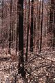 CSIRO ScienceImage 4 Burnt Trees Blue Mountains.jpg