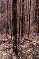 CSIRO ScienceImage 4 Burnt Trees Blue Mountains.jpg