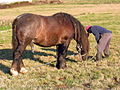 Cabalo semental. Sigueiro. Oroso. Galiza 1.jpg