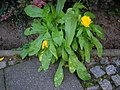 Calendula officinalis Entyloma calendulae.JPG