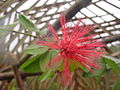 Calliandra emarginata 2.jpg