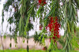 Callistemon Bottlebrush.jpg