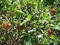Calodendrum capense, droë vrugte, b, Uniegeboutuine.jpg