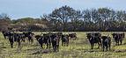 Camargue cattle, Saint-Gilles 01.jpg
