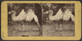 Camel, from Robert N. Dennis collection of stereoscopic views.png