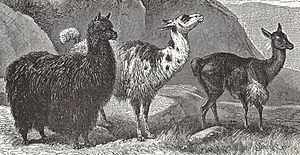 Huancavelica - In the Neolithic period the ancient inhabitants of this city began to domesticate some camelidae s as alpaca and Llama.