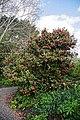 Camellia 'Leonard Messel' at RHS Garden Hyde Hall, Essex, England 02.jpg