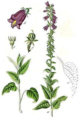 Campanula bononiensis Sturm59