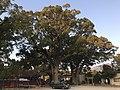 Camphor trees in Umi Hachiman Shrine 3.jpg