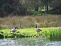 Canada Geese, Bishopstone Fishing Lake - geograph.org.uk - 762182.jpg