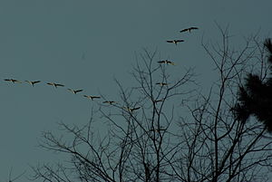 a group of Canada Geese flying in Michigan in ...