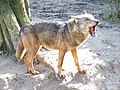 Canis lupus signatus (Kerkrade Zoo) 28.jpg