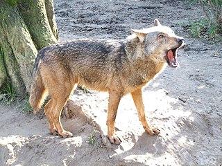 320px-Canis_lupus_signatus_%28Kerkrade_Zoo%29_28 dans LOUP
