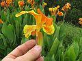 Canna x generalis flower3 NC - Flickr - Macleay Grass Man.jpg