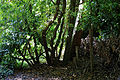 Canopied lane of laurels, Nuthurst, West Sussex, England 6.jpg