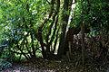 Canopied lane of laurels, Nuthurst, West Sussex, England 6.jpg