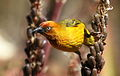 Cape Weaver, Ploceus capensis at Walter Sisulu National Botanical Garden - male (9648339256).jpg