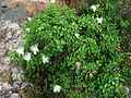 Capparis sandwichiana Delicate beauty in a harsh environment (5209429653) (2).jpg