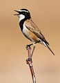 Capped Wheatear, Oenanthe pileata at Suikerbosrand Nature Reserve, Gauteng, South Africa (14995870609).jpg