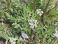 Capsella bursa-pastoris 2.JPG
