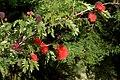 Carbonero rojo (Calliandra hematocephala) (14700713484).jpg