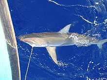 Carcharhinus galapagensis hooked.jpg