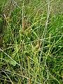 Carex extensa inflorescens (8).jpg