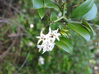 Carissa - Carissa bispinosa, thorns and flowers