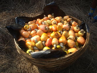 Feni (liquor) - Cashew apples after plucking in Chorão, Goa