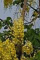 Cassia fistula04.JPG