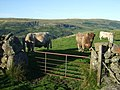 Cattle at Sheepfold above Fintry - geograph.org.uk - 538645.jpg