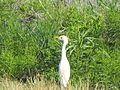 Cattle egret at Chincoteague National Wildlife Refuge - Assateague Island National Seashore. (5280459858).jpg