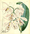 Cattleya maxima - Curtis' 82 (Ser. 3 no. 12) pl. 4902 (1856).jpg