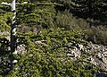 Cedrus libani, Saint-Clément-de-Rivière cf01.jpg