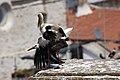 Cegonha Branca ( Ciconia ciconia ) 22 (48309354272).jpg