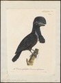 Cephalopterus ornatus - 1825-1834 - Print - Iconographia Zoologica - Special Collections University of Amsterdam - UBA01 IZ16600147.tif