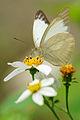 Cepora nadina eunama male dry-season 20140315.jpg