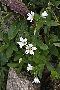 Cerastium davuricum (Caryophyllaceae) (33002497510).jpg