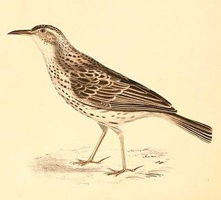 Cape long-billed lark species of bird