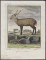 Cervus porcinus - 1700-1880 - Print - Iconographia Zoologica - Special Collections University of Amsterdam - UBA01 IZ21500342.tif