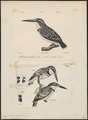 Ceryle rudis - 1700-1880 - Print - Iconographia Zoologica - Special Collections University of Amsterdam - UBA01 IZ16800241.tif