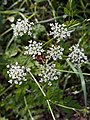 Chaerophyllum temulum inflorescence (29).jpg